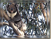 Koala, Kangaroo Island - Click for a larger Image
