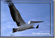 Pelican in Flight - Click for a larger Image